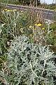 Andryala pinnatifida kz13.jpg