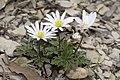 Anemone.blanda.7115.jpg