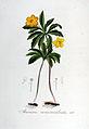 Anemone ranunculoides — Flora Batava — Volume v6.jpg