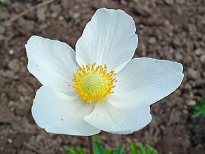 English: Anemone sylvestris, Ranunculaceae, Sn...