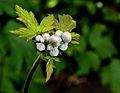 Anemone tomentosa 'Albadura' 01.JPG