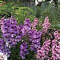 Angelonia angustifolia public domain IMG 5104.jpg