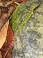 Anolis evermanni in El Yunque national park.jpg