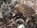 Another echidna.jpg