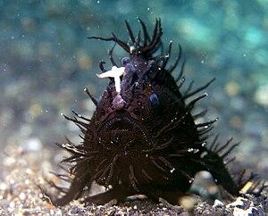 Anglerfische Wikipedia