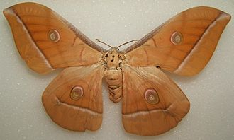 Antheraea pernyi - Mounted female