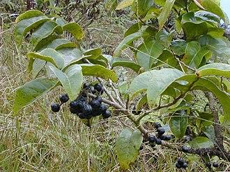 Antidesma - Hame (A. platyphyllum) - ripe berries
