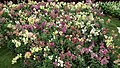 Antirrhinum from Lalbagh flower show Aug 2013 8389.JPG