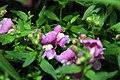 Antirrhinum majus Solstice Lavender 3zz.jpg