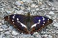 Apatura iris Weinsberg 20080618 1.jpg