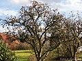 Apfelbaum ohne Blätter. - panoramio (1).jpg