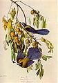 Aphelocoma coerulescens audubon.jpg