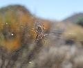 Araña tigre Teide.JPG