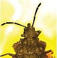 Aradus macrosomus holotype baltic amber fig 3.jpg