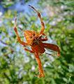 Araneus alcine. Araneidae - Flickr - gailhampshire.jpg