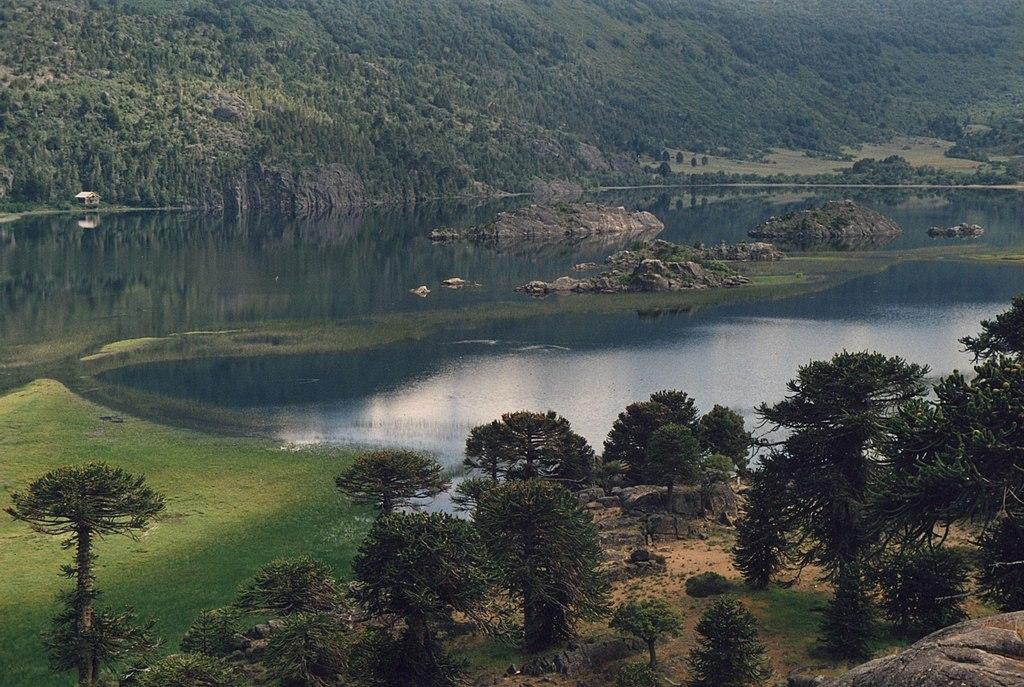 http://upload.wikimedia.org/wikipedia/commons/thumb/3/35/Araucaria_araucana_pulmari.jpg/1024px-Araucaria_araucana_pulmari.jpg