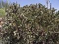 Arctostaphylos glandulosa crassifolia.jpg