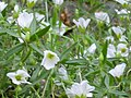 Arenaria montana subsp. montana Flores 2011-4-24 SierraMadrona.jpg