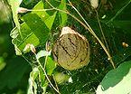 Ampiaishämähäkki