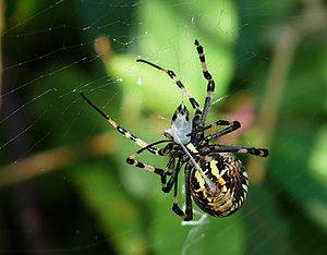Spider silk - A female specimen of Argiope bruennichi wraps her prey in silk.