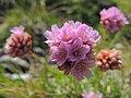 Armeria alpina (36613708085).jpg