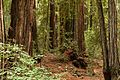 Armstrong Redwoods State Natural Reserve - 06.jpg