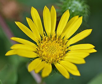 Arnica montana - Arnica montana: Photo taken at Botanical Garden in Erlangen, Germany.
