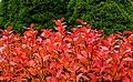 Aronia leaves on a rainy autumn day in Tuntorp 12.jpg