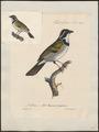 Arremon torquatus - 1825-1834 - Print - Iconographia Zoologica - Special Collections University of Amsterdam - UBA01 IZ15900369.tif