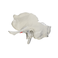 Articular tubercle of temporal bone - close up - lateral view.png