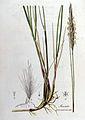 Arundo arenaria — Flora Batava — Volume v8.jpg