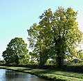 Ash Trees by the Trent and Mersey Canal, Weston, Staffordshire - geograph.org.uk - 598664.jpg
