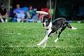 Ashley Whippet Frisbee Naperville - 8033007657.jpg