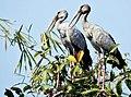 Asian Openbill Storks.jpg