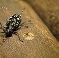 Asian longhorned beetle and exit hole.jpg