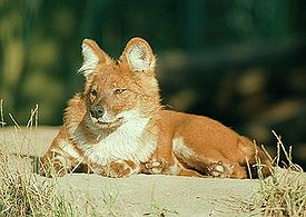 http://upload.wikimedia.org/wikipedia/commons/thumb/3/35/Asian_red_dog.jpg/275px-Asian_red_dog.jpg