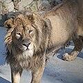 Asiatic Lion 2d.jpg