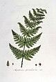 Aspidium spinulosum — Flora Batava — Volume v7.jpg