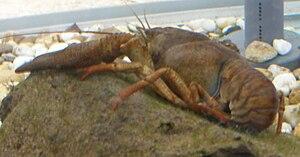 Upper Harz Ponds - Crayfish