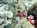 Asterinid sea star Maldives.jpg
