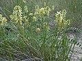 Astragalus canadensis (5143725875).jpg