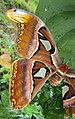 Attacus atlas with a wing gone 09.JPG