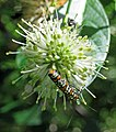 Atteva aurea (Ailanthus webworm moth) (Newark, Ohio, USA) 3 (43255703722).jpg