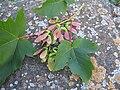 Auró Acer pseudoplatanus samaras.jpg