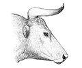 Aurochs head.jpg