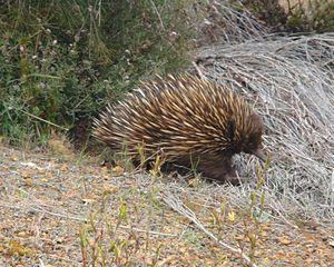 Flinders Chase National Park - Image: Australia kangaroo island echidna