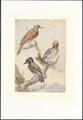 Aves - 1760 - Print - Iconographia Zoologica - Special Collections University of Amsterdam - UBA01 IZAA100282.tif