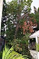 Avocado Tree Limb (2833024376).jpg