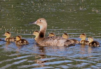 Canvasback - Female with ducklings