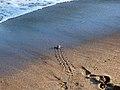Bébé tortue, plage de Moya.jpg